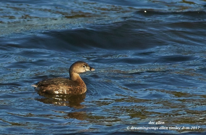 walk1801-03-02-17-08-41-07-ebenezer-pied-billed-grebe
