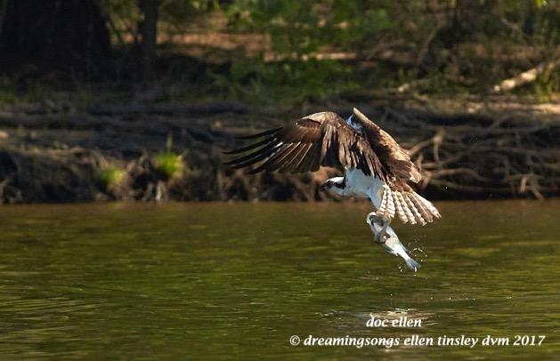 UPDATE on 3 Eagles + 1 Osprey | doc ellen\'s journey
