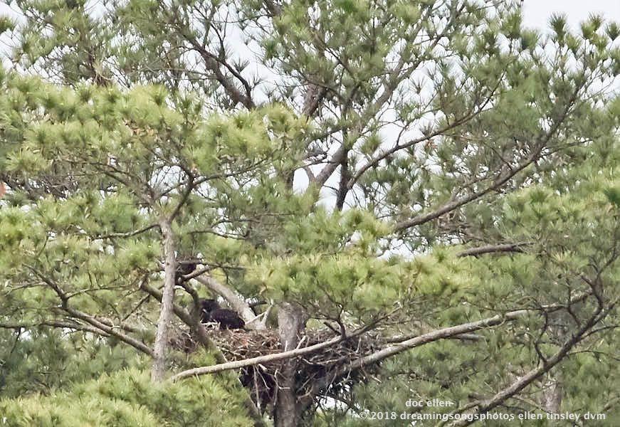 MARK7483 Ebenezer 26-04-18 08-57 H&G nest branching