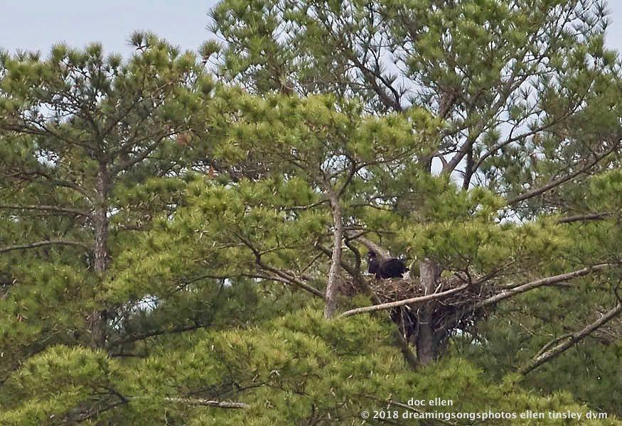 MARK7532 Ebenezer 26-04-18 09-29 H&G nest branching