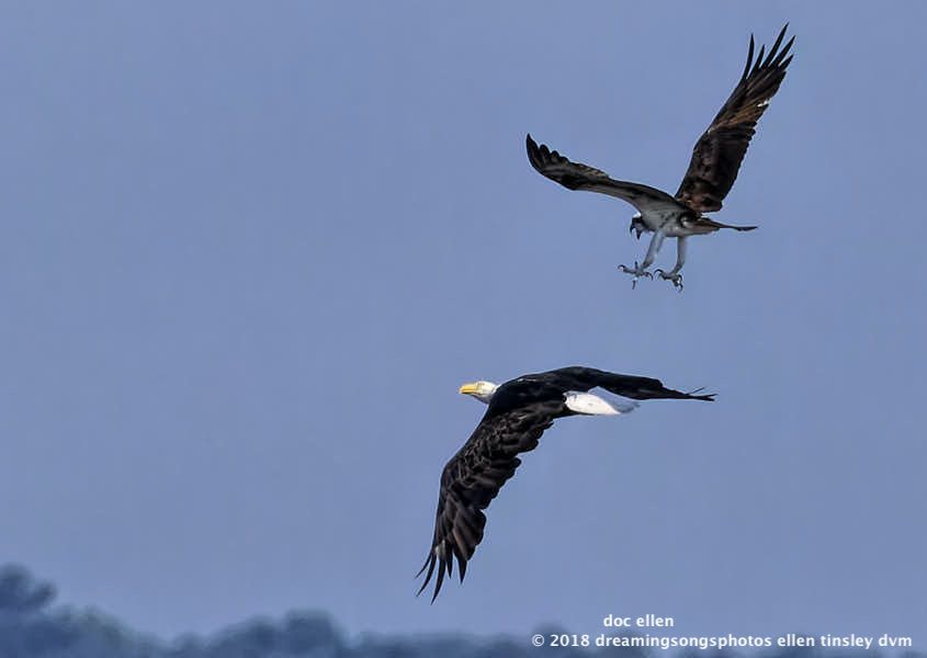 Slide Show Of Some Of My Bird Photos >> Jl Raptor Report Bald Eagle 1 Photo 1 Slideshow 07 28 2018 Doc
