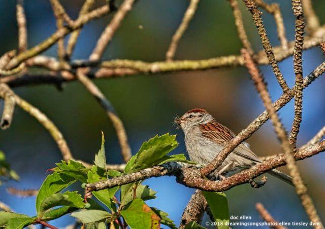 MARK6288 Ebenezer 07-08-18 07-27 chipping sparrow