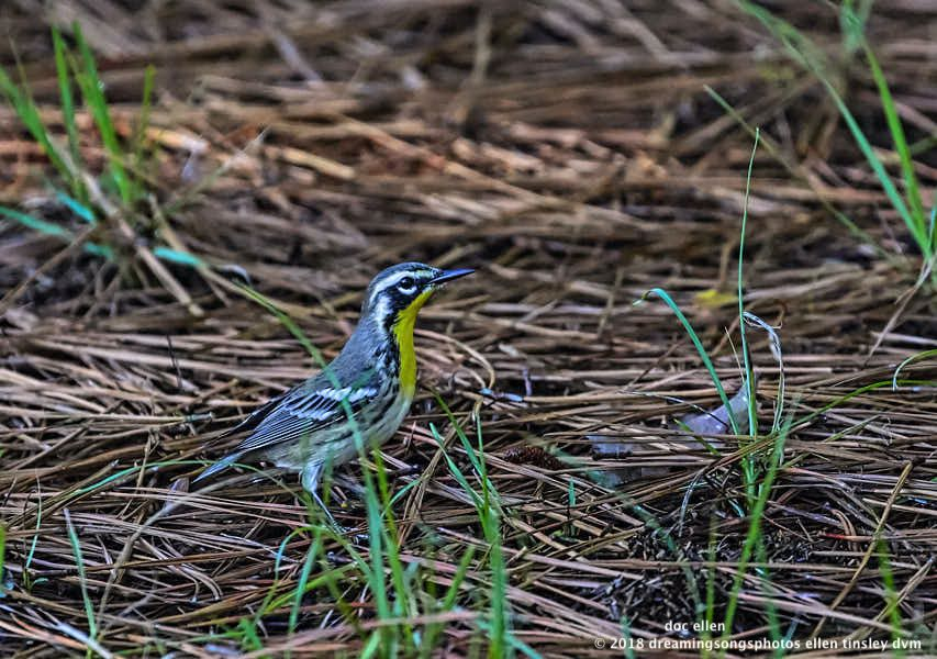 MARK6847 Ebenezer 08-08-18 08-34-11 yellow-throated warbler