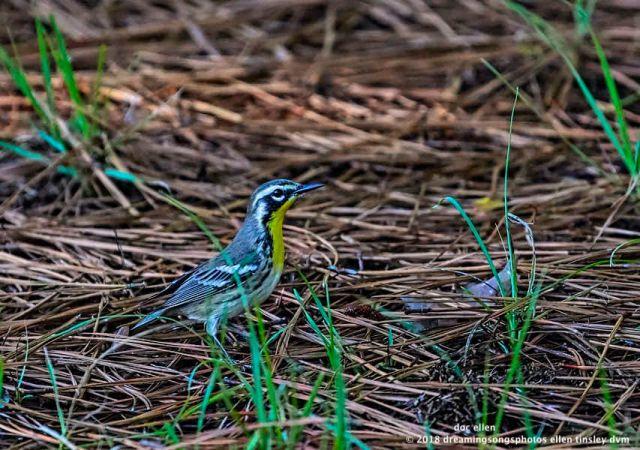 MARK6847 Ebenezer 08-08-18 08-34-11 yellow-throated warbler