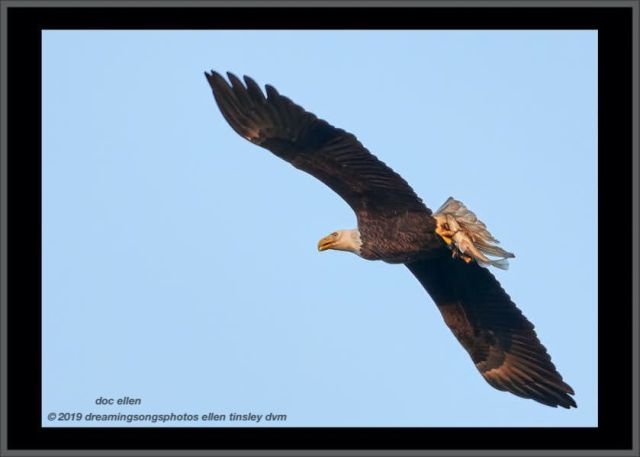 _ark4457 jl dam 24-01-19 18-12-08 2 eagle fish frame